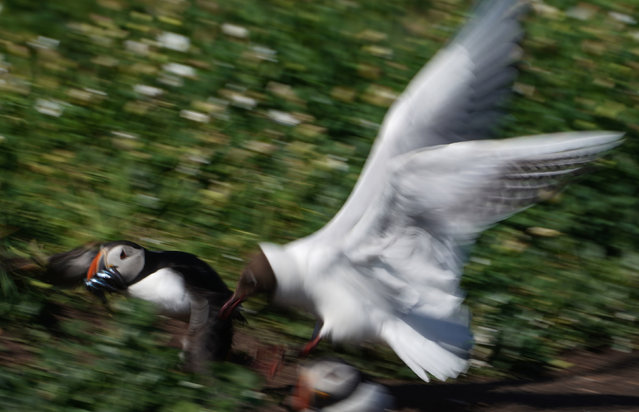A puffin holding a fish in its beak is chased by an Arctic tern on the Farne Islands, off the coast of Northumberland, UK. (Photo by Owen Humphreys/PA Wire Press Association)