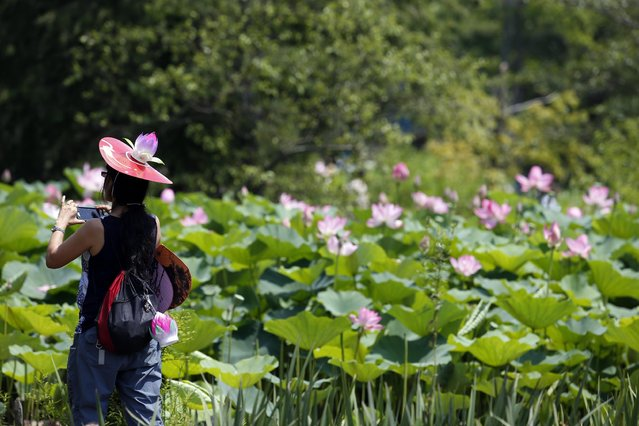 A woman wearing a festival hat take a picture of the fragrant lotus flower blooms in one of the ponds during the 2015 Lotus & Water Lily Festival at the Kenilworth Park and Aquatic Gardens, Saturday, July 11, 2015 in Washington. (Photo by Alex Brandon/AP Photo)
