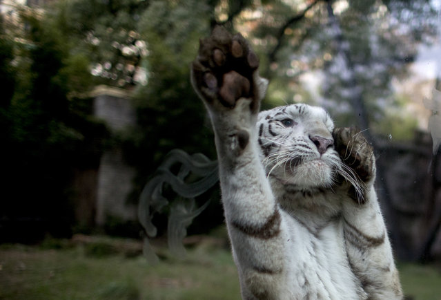 In this July 15, 2016 photo, Cleo, a female white tiger, jumps on the safety glass of her enclosure reacting to painters working on an improvement project, at the former city zoo now known as Eco Parque, in Buenos Aires, Argentina. In its beginnings, the zoo was inspired on Victorian zoos that exhibited exotic animals. (Photo by Natacha Pisarenko/AP Photo)