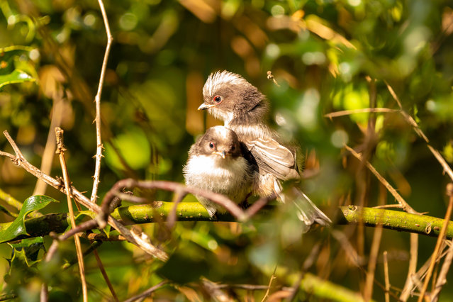 Two juvenile long-tailed tits (Aegithalos caudatus) just after leaving the nest for the first time in Poole, Dorset, 29 April, 2019. (Photo by Jordon Sharp/Alamy Stock Photo)