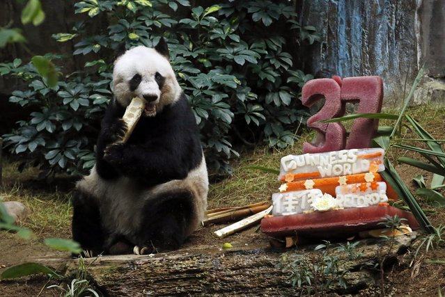 """Giant panda Jia Jia eats bamboo next to her birthday cake made with ice and vegetables at Ocean Park in Hong Kong, Tuesday, July 28, 2015 as she celebrates her 37-year-old birthday. Jia Jia broke the Guinness World Records title for """"Oldest Panda Living in Captivity"""" on Tuesday. (Photo by Kin Cheung/AP Photo)"""