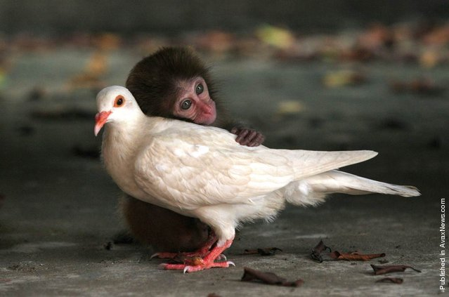 An orphaned rhesus monkey and white dove that seemed to have lost its mate forged a special bond at the Neilingding Island-Futian National Nature Reserve in China. The monkey was born on the island but had strayed from its mother. Luckily, it was taken in by work staff in the protection center and became friends with the pigeon that had lingered there after possibly losing its mate