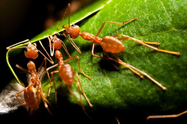 Weaver ants, Mohammadi, Lakhimpur Kheri, Uttar Pradesh, India. (Photo by Satpal Singh)