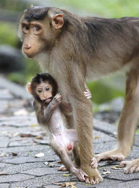 A baby monkey clings to the leg of her mother in a park in Kuala Lumpur, Malaysia on May 7, 2012