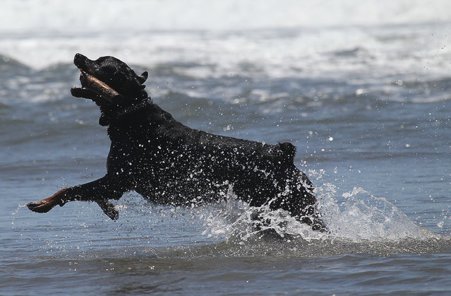 A dog fetches a stick in the water at Ocean Beach on June 21, 2011 in San Francisco, California. (Photo by Justin Sullivan/Getty Images)