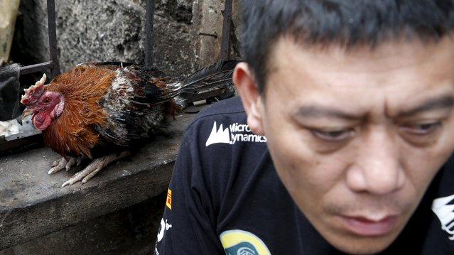 A partially burnt cockfighting rooster that survived a fire, perches on the window of a house next to a fire victim in Paranaque, Metro Manila in the Philippines August 21, 2015. Local government officials said more than 1000 residents were rendered homeless after a fire razed a residential neighbourhood of San Martin de Porres in Paranaque city, while firemen said they were not able to reach the area and put out the fire immediately due to heavy traffic jam in the area on Thursday evening. (Photo by Erik De Castro/Reuters)