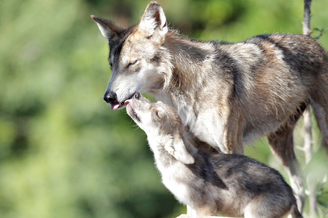 A newly born Mexican gray wolf cub, an endangered native species, interacts with his mother at its enclosure at the Museo del Desierto in Saltillo, Mexico, July 19, 2016. (Photo by Daniel Becerril/Reuters)