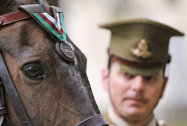 Horse Haldalgo, representing life-saving US Marine horse Sergeant Reckless who served with the US Marine Corps during the Korean War, is awarded with the PDSA Dickin Medal watched by Sergeant Mark Gostling in London, Wednesday, July 27, 2016. Reckless, who survived one of the bloodiest battles in modern military history, has today been awarded the PDSA Dickin Medal – known as the animal equivalent of the Victoria Cross – for her bravery and devotion to duty during the Korean war 1950 until 1953. (Photo by Frank Augstein/AP Photo)