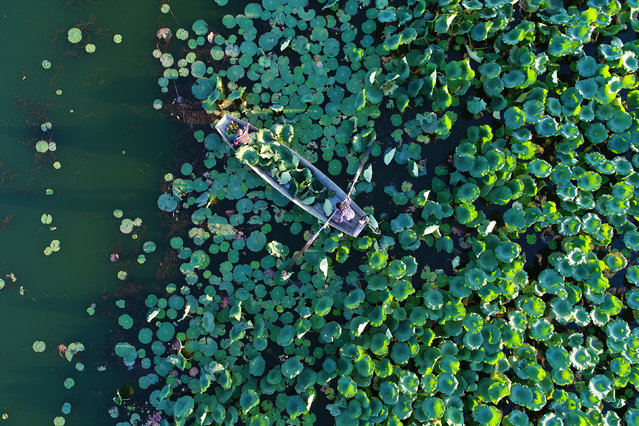 People pick lotus seeds along the reservoir of Tuhe River in Anjiazhuang Village of Kaiping District, in Tangshan City of north China's Hebei Province on October 5, 2017. Since this March, Tangshan started to promote the ecological protection of Tuhe River for lotus planting, which boosted the coordinated development of local tourism and eco-environment. (Photo by Mu Yu/Xinhua/Barcroft Images)
