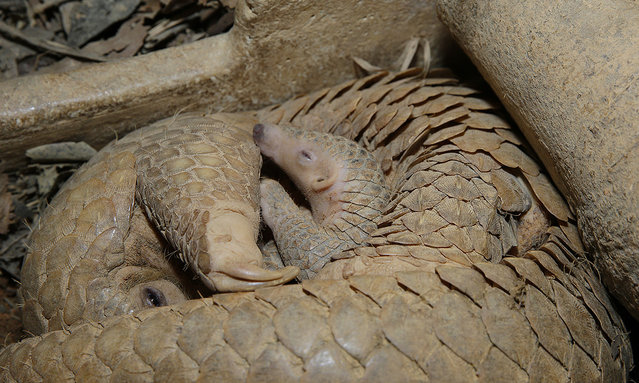 Radin the Sunda pangolin in the protective clutch of his mother, Nita. (Photo by Wildlife Reserves Singapore)