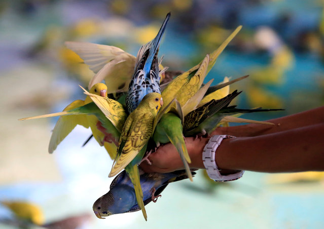 Budgies feed on seeds from a local visitor's hands at Ocean Park in metro Manila, Philippines September 10, 2016. (Photo by Romeo Ranoco/Reuters)