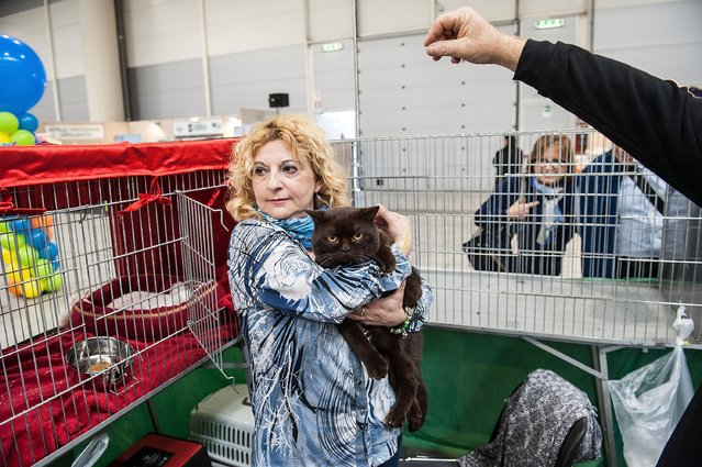 A British cat is in the arms of his owner during the first day of the Super Cat Show 2014, on November 8, 2014 in Rome, Italy. (Photo by Giorgio Cosulich/Getty Images)