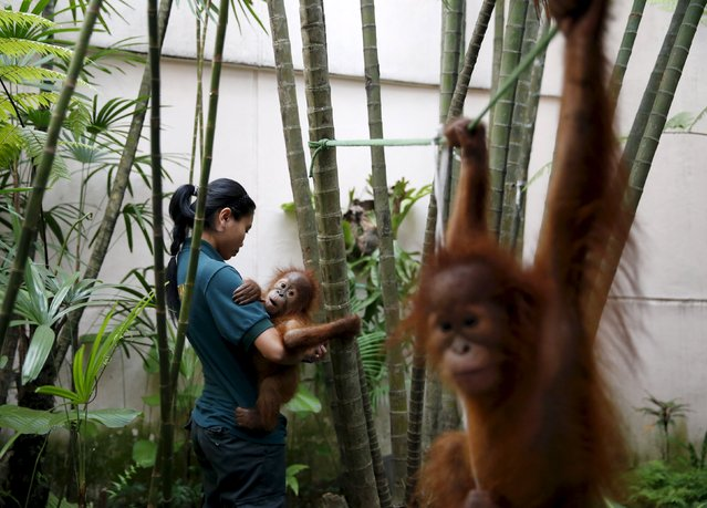 Two baby orangutans are cared for at the wildlife department in Kuala Lumpur, Malayasia, October 19, 2015. (Photo by Olivia Harris/Reuters)