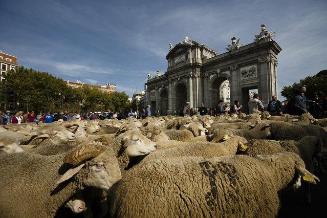 Shepherds lead their sheep through the centre of Madrid, Spain, Sunday, October 25, 2015. (Photo by Daniel Ochoa de Olza/AP Photo)