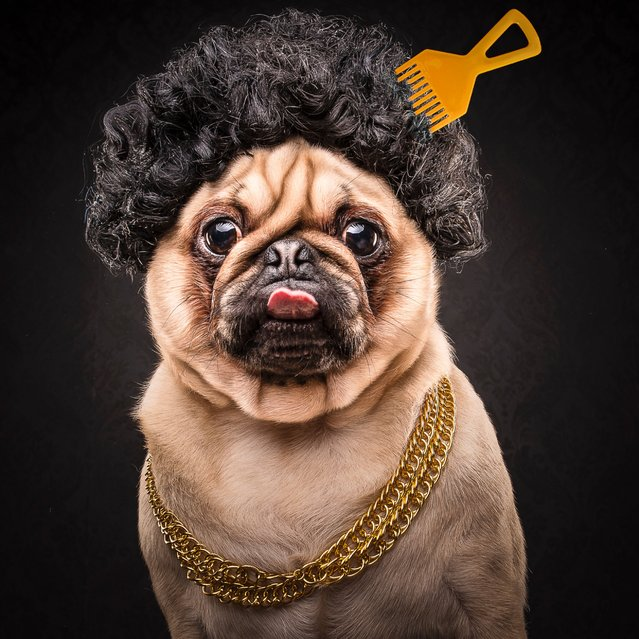 Pictured is Ice Pug. Talk about living the pug life! These hilarious snaps of pugs made as part of a project by Australian company the Dog Photographers show pups dressed in '80s and '90s hip hop outfits. They seem to be having a good time as they pose in snap backs and gold chains. (Photo by Caters News Agency/Dog Photographers)