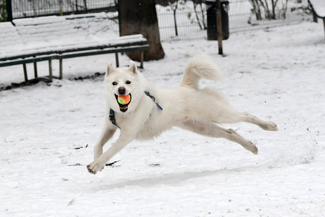 "A dog called ""Guilbert"" catches a ball as he runs through snow at The Indro Montanelli Garden near Porta Venezia in Milan on March 2, 2018. Fresh heavy snowfalls and icy blizzards are lashing Europe, as the region shivers in a deadly deep-freeze that has gripped countries from the far north to the Mediterranean south. (Photo by Miguel Medina/AFP Photo)"