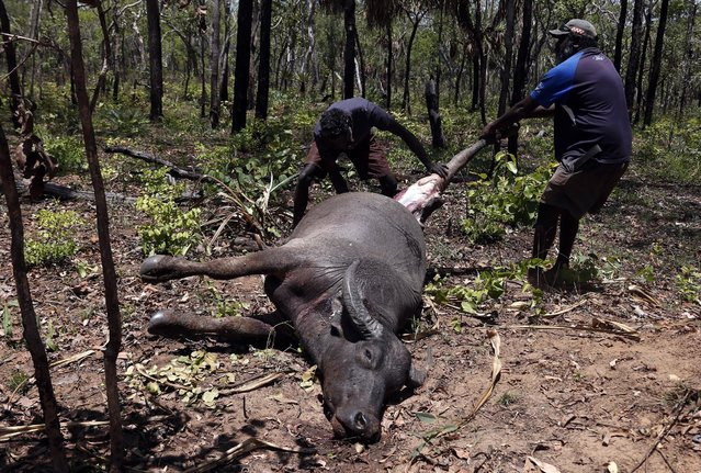 Australian Aboriginal Norman Daymirringu (R) and friend James Gengi of the Yolngu people cut off the leg of a buffalo for food after they discovered it dead on the side of a dirt track on the outskirts of Ramingining in East Arnhem Land November 21, 2014. (Photo by David Gray/Reuters)