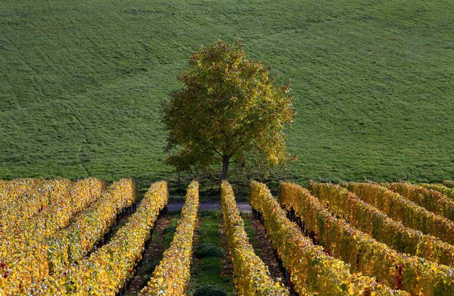 Late autumn colours in vineyards mark a change in the season in Soultz in the Alsace region of eastern France, in this October 22, 2015 file photo. (Photo by Jacky Naegelen/Reuters)