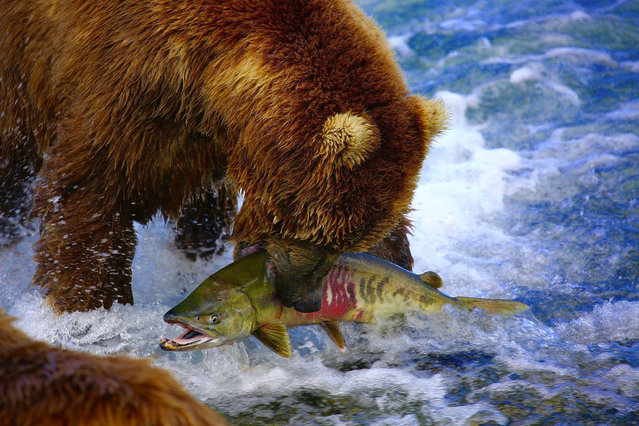A grizzly lands a salmon at McNeil River State Game Sanctuary, Alaska on September 12, 2016. (Photo by Kevin Farrell/The Seattle Times)
