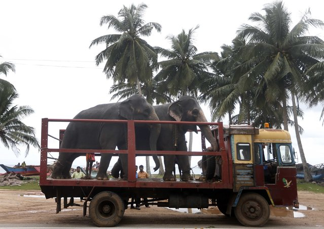 Two elephants stand on a flatbed truck before being taken to Colombo, in Paraliya December 20, 2014. (Photo by Dinuka Liyanawatte/Reuters)