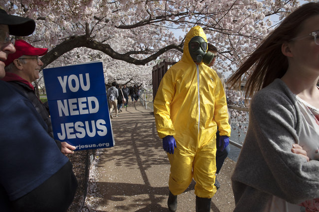 """A 17-year-old who asked not to be named, wears a hazmat suit, gas mask, boots, and gloves as he walks past people holding a sign that says, """"you need Jesus"""" as he and his family from Gaithersburg, Md. walk under cherry blossom trees in full bloom along the tidal basin, Sunday, March 22, 2020, in Washington. """"I'm not worried for me since I'm young"""", says the 17-year-old, """"I'm wearing this in case I come into contact with anyone who is older so that I won't be a threat to them"""". He plans to wear his protective outfit for coronavirus each time he leaves the house. Sections of the National Mall and tidal basin areas have been closed to vehicular traffic to encourage people to practice social distancing and not visit Washington's iconic cherry blossoms this year due to coronavirus concerns. The trees are in full bloom this week and would traditionally draw a large crowd. (Photo by Jacquelyn Martin/AP Photo)"""