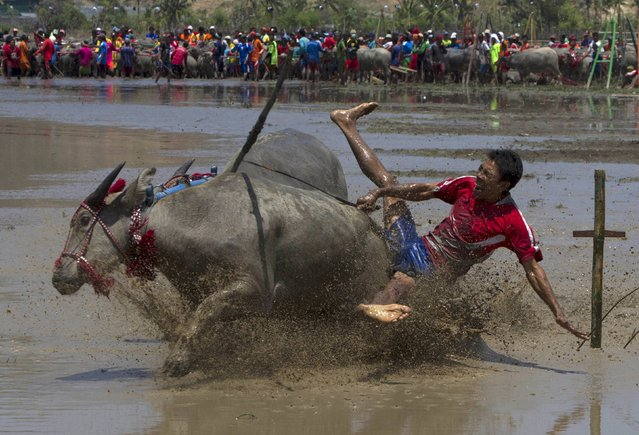 A jockey falls off during a traditional Barapan Kebo or buffalo races, in Taliwang, on the island of Sumbawa, West Nusa Tenggara, Indonesia November 22, 2015. (Photo by Sigit Pamungkas/Reuters)