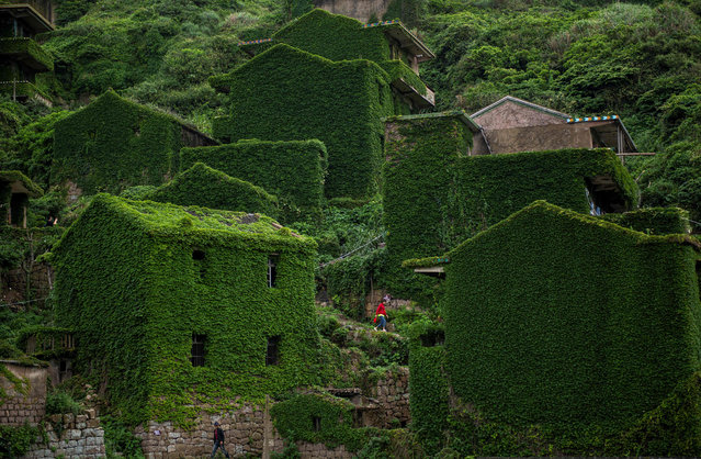 This picture taken on May 31, 2018 shows a villager walking between abandoned houses covered with overgrown vegetation in Houtouwan on Shengshan island, China' s eastern Zhejiang province. (Photo by Johannes Eisele/AFP Photo)
