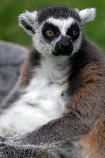 At 27, Stumpy, star attraction at a Scottish zoo, is thought to be the oldest ring-tailed lemur in captivity in the world. (Photo by Hemedia/Swns Group)