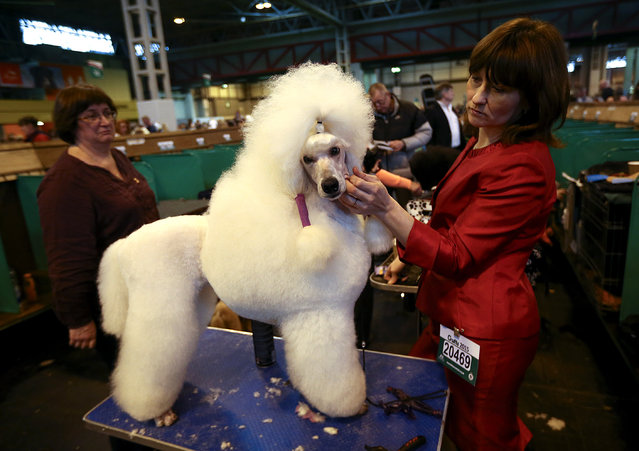 A Standard Poodle is groomed on the fourth and final day of Crufts dog show at the National Exhibition Centre on March 8, 2015 in Birmingham, England.  First held in 1891, Crufts is said to be the largest show of its kind in the world. The annual four-day event, features thousands of dogs, with competitors travelling from countries across the globe to take part and vie for the coveted title of 'Best in Show'.  (Carl Court/Getty Images)