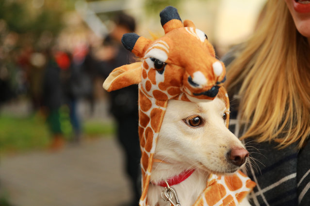 A dog dressed as a giraffe is seen at the 28th Annual Tompkins Square Halloween Dog Parade at East River Park Amphitheater in New York on October 28, 2018. (Photo by Gordon Donovan/Yahoo News)