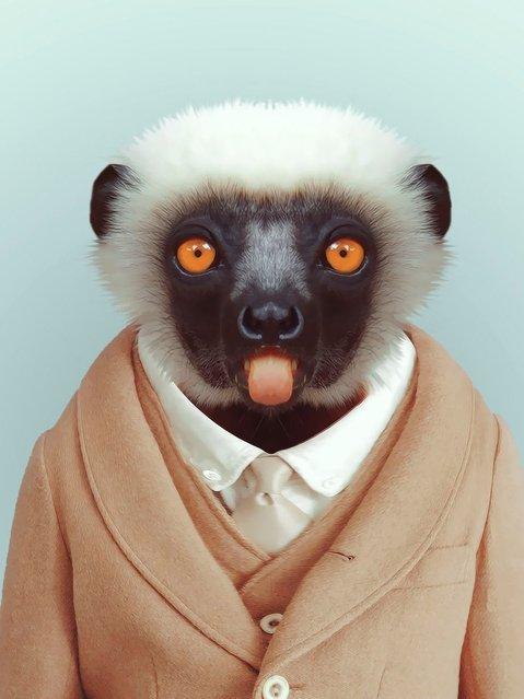 Lemur wearing a suit. (Photo by Yago Partal/Barcroft Media)
