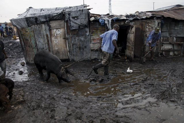 A butcher pulls a pig at La Saline slaughterhouse in Port-au-Prince, Haiti, March 19, 2015. (Photo by Andres Martinez Casares/Reuters)