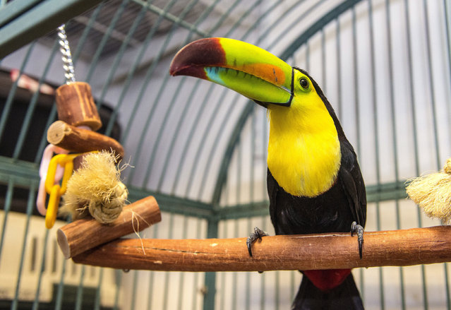 Fern, the toucan that flew out of Courtney Chapman's back yard aviary in Fullerton, Calif., in May, sits in a cage at Omar's Exotic Birds in Brea, Calif., Thursday morning, December 29, 2016. On Tuesday, Fern flew into a Yorba Linda auto repair shop, where an Omar's Exotic Birds employee, Connor Chubbuck, captured her. On Thursday, she was reunited with her owner. (Photo by Mark Rightmire/The Orange County Register via AP Photo)