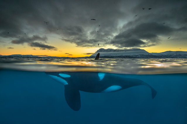 Split-view of a killer whale at sunrise off the coast of Northern Norway. At least half of the world's killer whale populations are doomed to extinction due to pollution of the oceans, a new study says. (Photo by Audun Rikardsen/Science)