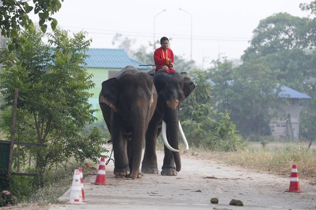 A mahout rides an elephant prior to Thailand's national elephant day celebration in the ancient city of Ayutthaya March 11, 2016. (Photo by Chaiwat Subprasom/Reuters)