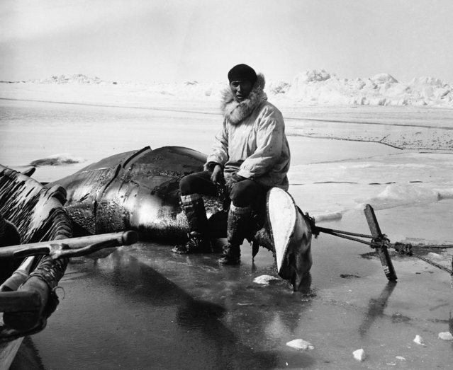 A Point Hope hunter sits on the carcass of a whale which has been hauled onto the ice to be butchered. (Photo by Hulton-Deutsch Collection/Corbis via Getty Images)