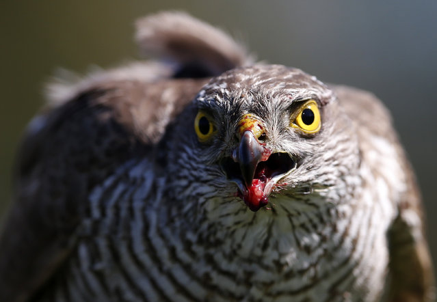 In this photo taken Thursday, April 23, 2015, a sparrow hawk looks up after catching a pigeon on a falcon farm, near the northern Serbian town of Coka. Most of the birds end up in the Emirates which has a long tradition of falconry. The sport involves trained birds that typically circle above the falconers and take high-speed dives at flushed prey such as grouse. (Photo by Darko Vojinovic/AP Photo)