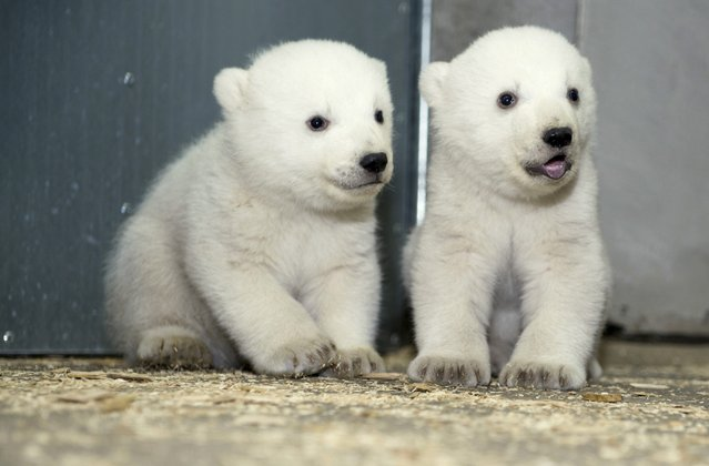 A handout photo issued by Tierpark Hellabrunn on 26 February 2014 shows the female (L) and male (R) polar bear twins at the zoo Hellabrunn in Munich, Germany, 25 February 2014. The polar bear twins were born on 09 December 2013. (Photo by Tierpark Hellabrunn/EPA)