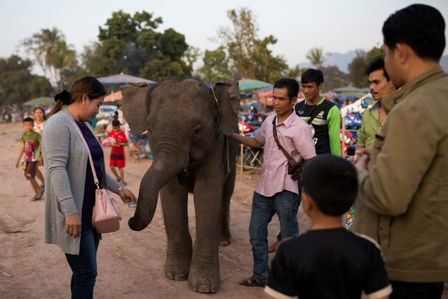 People stand around a baby elephant before taking part in an elephant festival, which organisers say aims to raise awareness about elephants, in Sayaboury province, Laos February 16, 2017. (Photo by Phoonsab Thevongsa/Reuters)