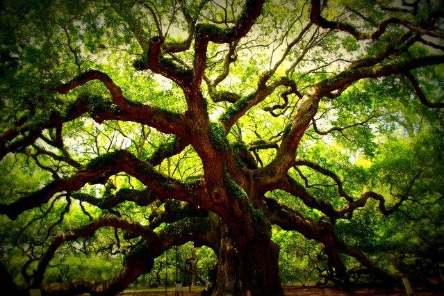 The Angel Oak Tree In South Carolina