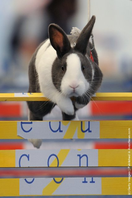 A rabbit jumps over a hurdle at an obstacle course during the first European rabbit hopping championships