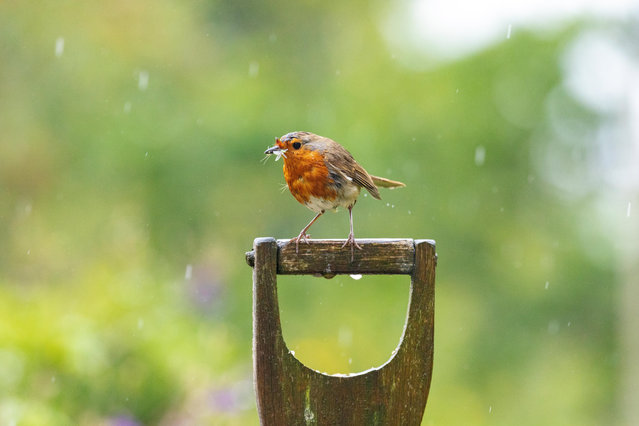 A robin perches on a spade handle in a garden on a rainy day in Lixwm, north Wales. Researchers said this week that when European robins are subjected to human-produced noise, their behaviour changes. (Photo by DGDImages/Alamy Live News)