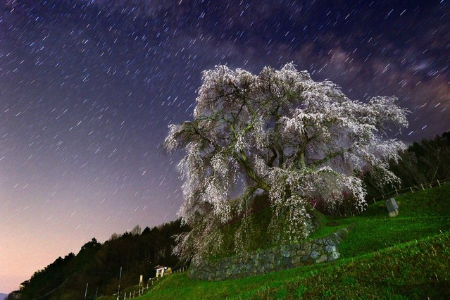 "In this long exposure image, the ""Matabe-e zakura"", cherry blossom which is believed to be more than 300 years old, is in full bloom in Uda, Nara, Japan. (Photo by 2014 The Asahi Shimbun)"