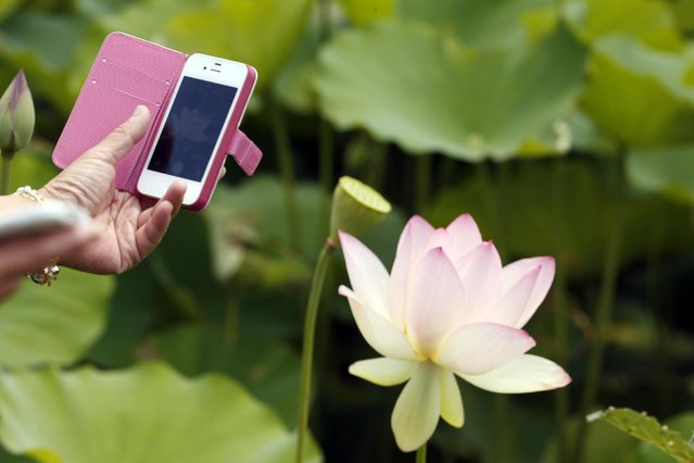 A woman uses her iPhone to photograph the bloom of a fragrant lotus during the 2015 Lotus & Water Lily Festival at the Kenilworth Park and Aquatic Gardens, Saturday, July 11, 2015 in Washington. (Photo by Alex Brandon/AP Photo)