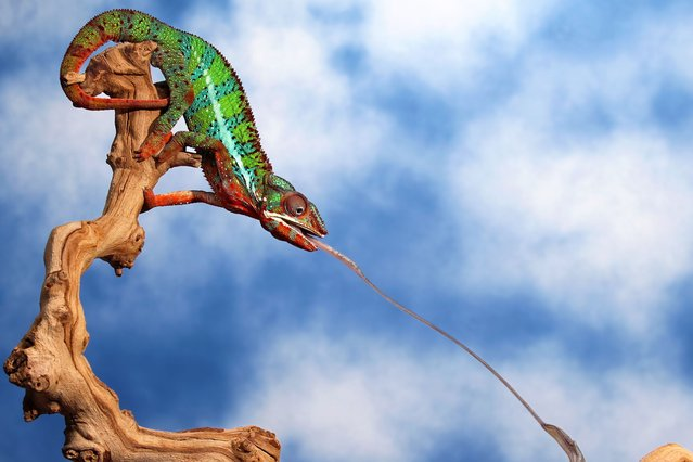 A colourful chameleon uses his lightning fast reflexes to snap up a mantis with his tongue while perching on the edge of a grapevine branch. Sizing up his prey, the careful chameleon practices taking his aim before making the killer shot. (Photo by Scott Cromwell/Solent News)