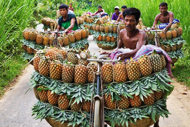 Farmers are taking pineapples to the market by their bicycle in Madhupur, Bangladesh on June 24, 2019. There has been a bumper production of pineapple in Madhupur zone of Bangladesh, the largest growing area of the country, in the summer season. (Photo by Azim Khan Ronnie/Solent News)