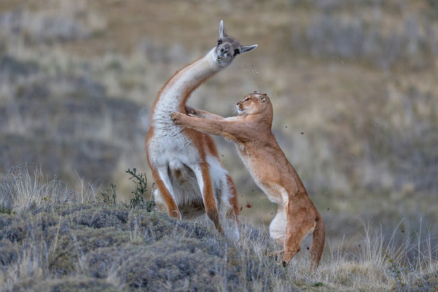 """Winner, mammals: A puma hunting a fully grown male guanaco – Ingo Arndt (Germany). """"To do this first complete photo reportage on pumas or cougars ( Puma concolor), I spent more than seven months in the wilderness of Patagonia. It's been my most demanding project ever. Despite extreme wind speeds and freezing temperatures, I often lay in wait hidden behind rocks for hours or walked up to 20km. This resulted in photos of behavioural patterns never documented before. The most important image of my puma project was this one of a guanaco hunt"""". (Photo by Ingo Arndt/2019 GDT European Wildlife Photographer of the Year)"""