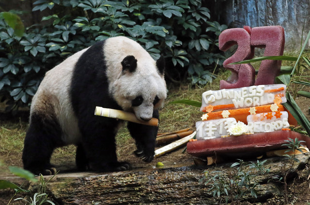 Giant panda Jia Jia walks eats bamboo next to her birthday cake made with ice and vegetables at Ocean Park in Hong Kong, Tuesday, July 28, 2015 as she celebrates her 37-year-old birthday. (Photo by Kin Cheung/AP Photo)