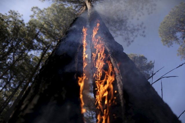 A tree on fire is seen as wildfires blaze near the Paranoa neighbourhood in Brasilia July 29, 2015. Drought, high temperatures and low humidity in areas have caused wildfires to start in several places in Brasilia, according to officials. (Photo by Ueslei Marcelino/Reuters)