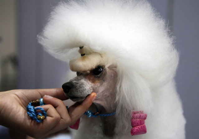 Topy, a 5-year-old Poodle, is groomed during the Thailand International Dog Show in Bangkok, Thailand, Thursday, June 29, 2017. The dog show is held from June 29 until July 2. (Photo by Kankanit Wiriyasajja/AP Photo)